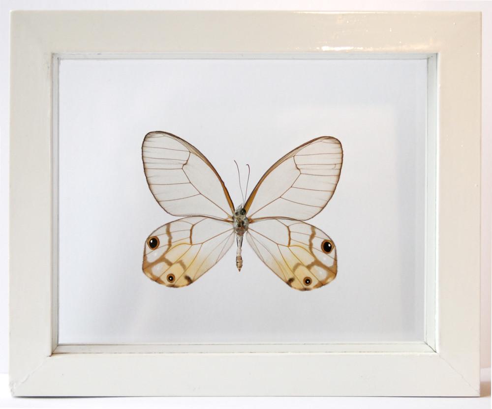 Real Glasswing Butterfly Framed Haetera Piera Clearwing in… | Flickr