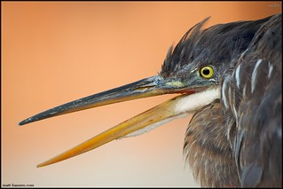 Great Blue Heron | by www.matthansenphotography.com
