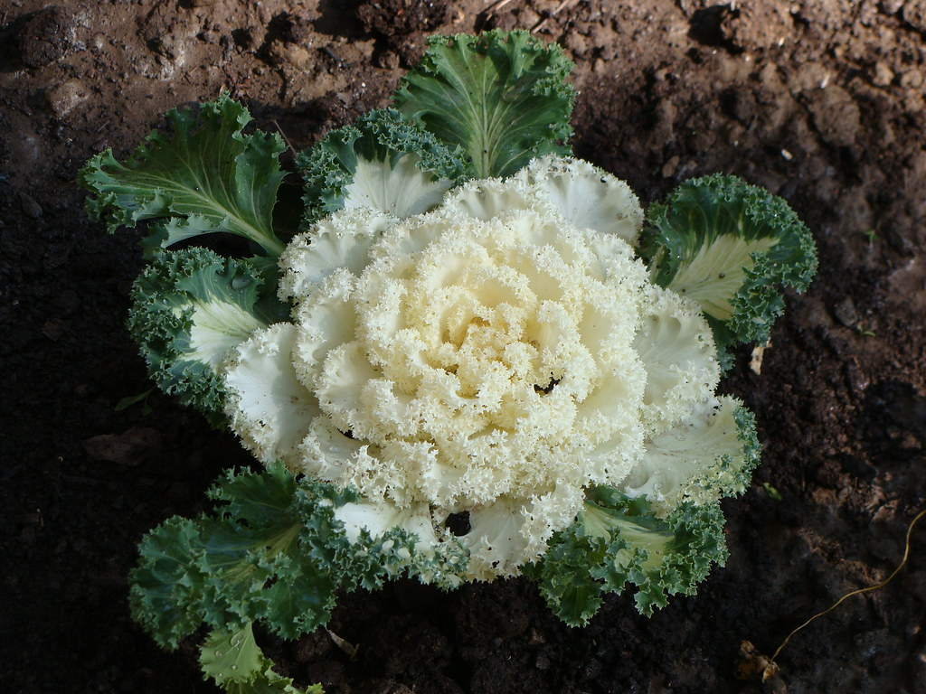Chidori White Ornamental Kale Brassica Oleracea Chidori W Flickr
