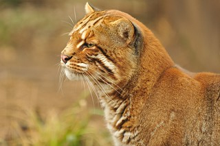 Asiatic Golden Cat | by Ami 211