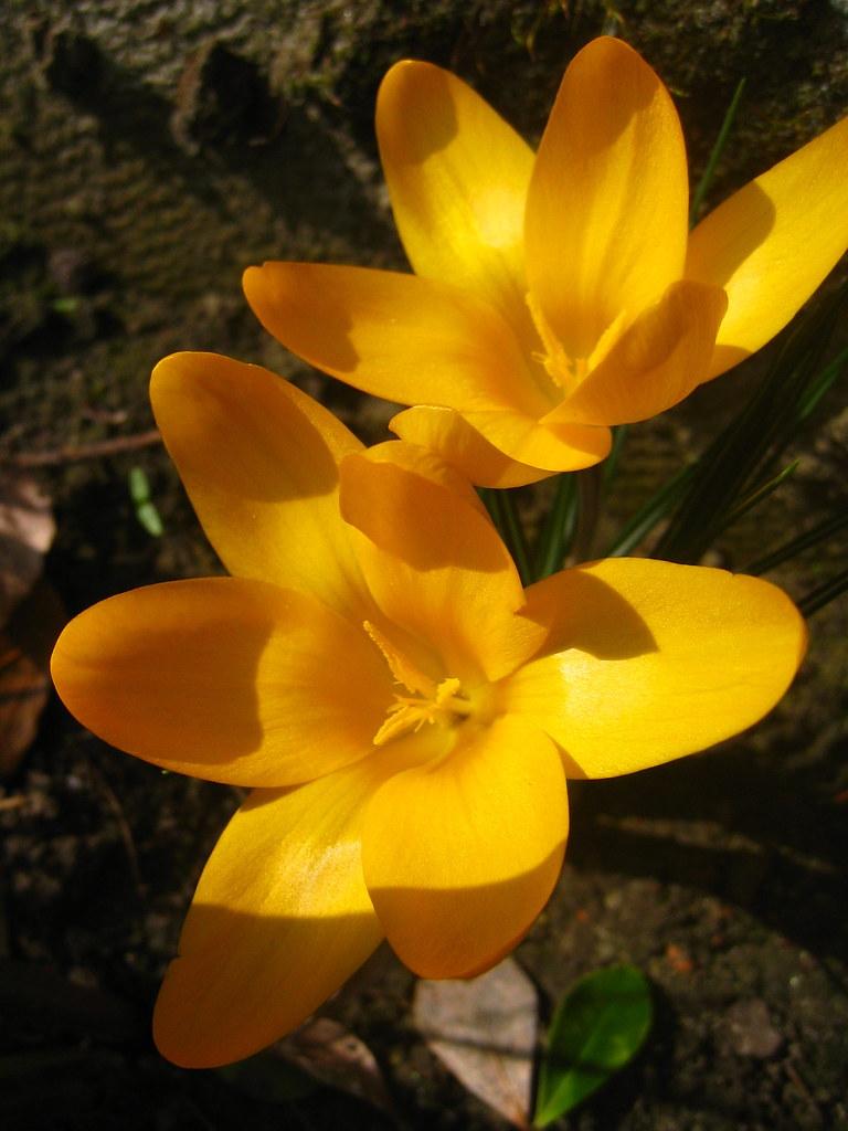 Yellow Crocus Flowers Kristel Van Loock Flickr