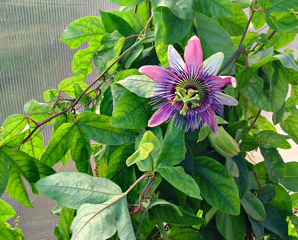 Passion Flower Vine Decatur Texas Free Stock Illustration Flickr