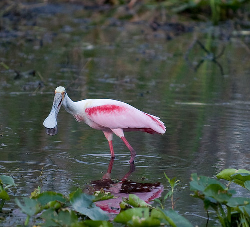 The Roseate Spoonbill | by Rachelle ♥♥♥