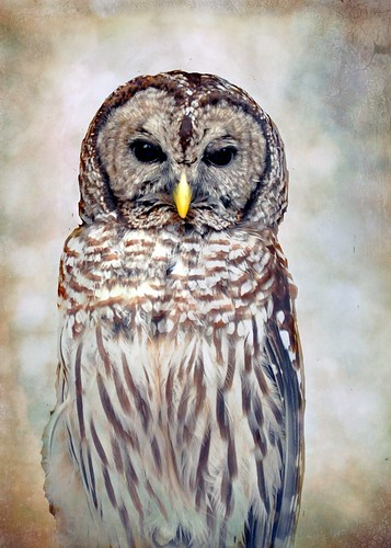 Barred Owl portrait | by Mary Vican