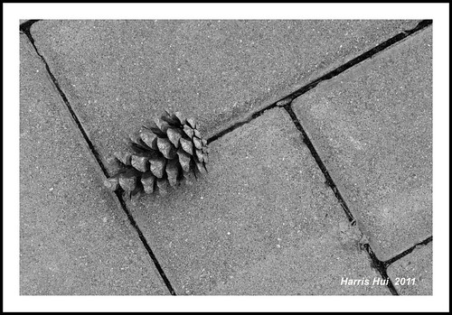 Pine Cone 7041e | by Harris Hui (in search of light)