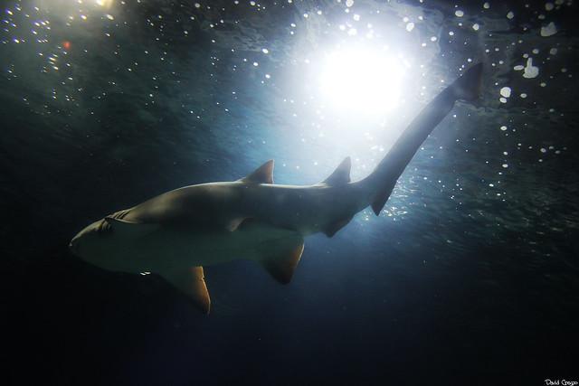 lone nurse shark