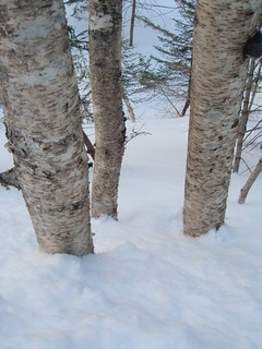 Birch Trees | by boltonnordic