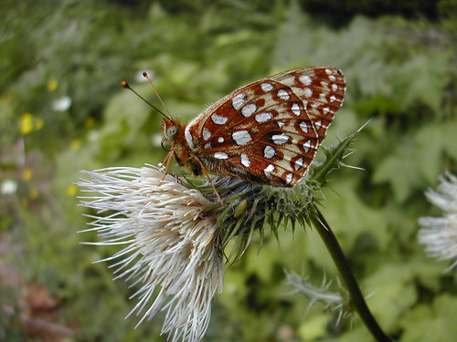 Oregon silverspot butterfly | by USFWS Pacific