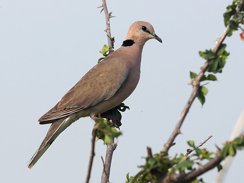 Vinaceous Dove (Streptopelia vinacea) | by David Cook Wildlife Photography