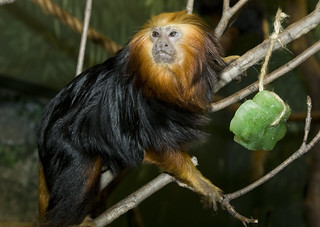 Golden-headed Lion Tamarin | by Smithsonian's National Zoo