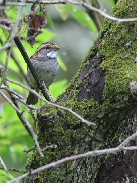 White-throated Sparrow 20161007