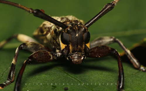 Long Horn Beetle | by Quickbrownerick