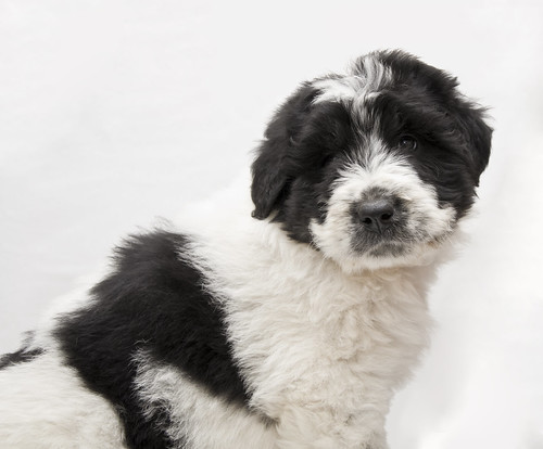 Black and white sheepdog puppy isolated | by canisa de runc
