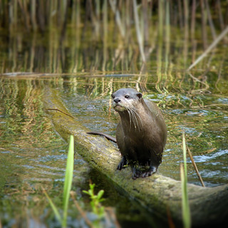 Otter spotted in the wetlands waters | by B℮n