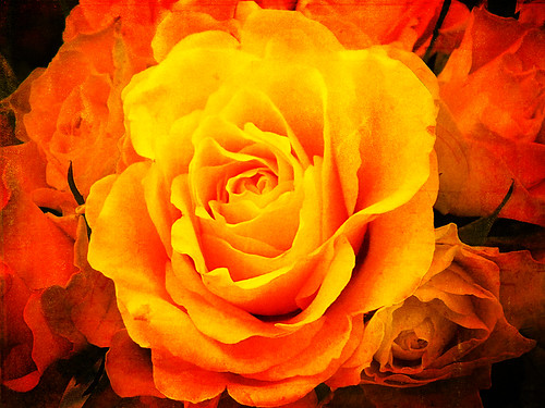 Rose gialle - Yellow roses | by Buonaventura's & Carla's