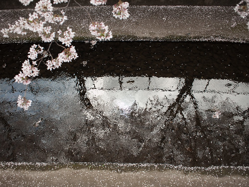 cherry blossoms fall on Kanda river | by ymk.sato