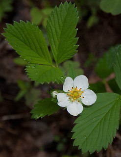 Wild Strawberry | by Talsi1