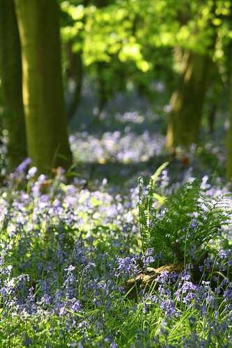 Yorkshire Bluebells | by Andrew Rickmann
