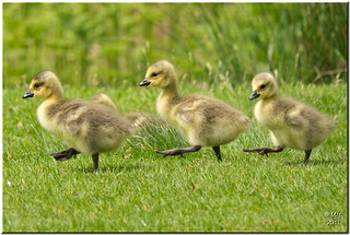 Goose Step | by Maria-H