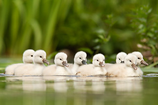 Not so ugly Ducklings | by Roeselien Raimond