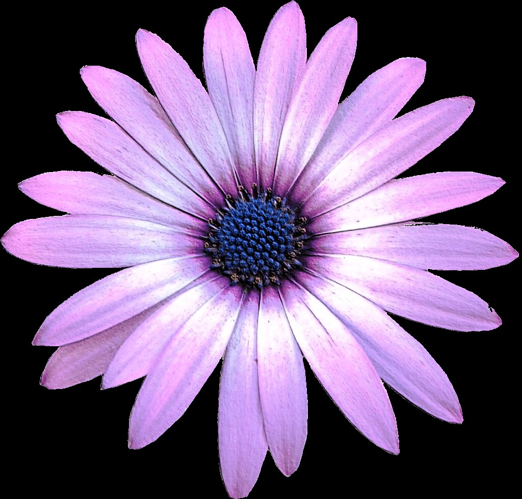 Purple Daisy Flower Clipart 15cm Embossed This Clipart St Flickr