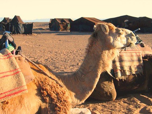 Camels in the Morning | by Loren Daniels