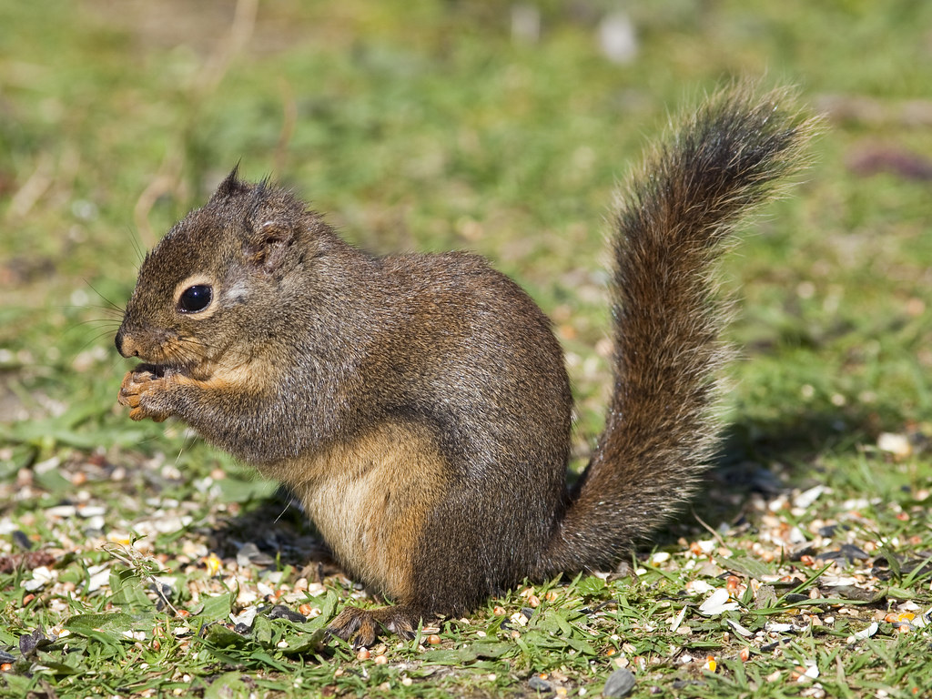Image result for douglas squirrel