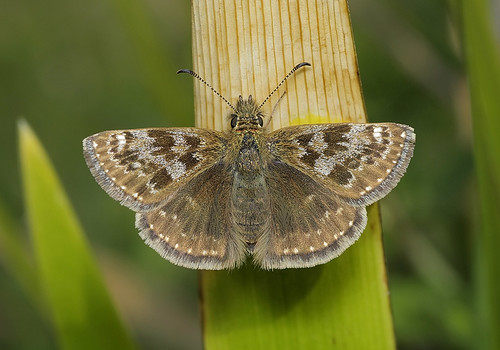 Dingy Skipper Erynnes tages | by tristanba