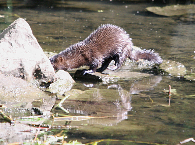 Mink sniffing out some prey