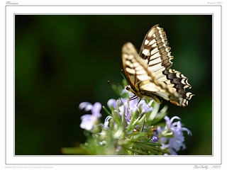 Papillon - Butterfly - Macaon | by BerColly