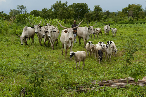 Shepherding in Ta Kuti village | by World Bank Photo Collection