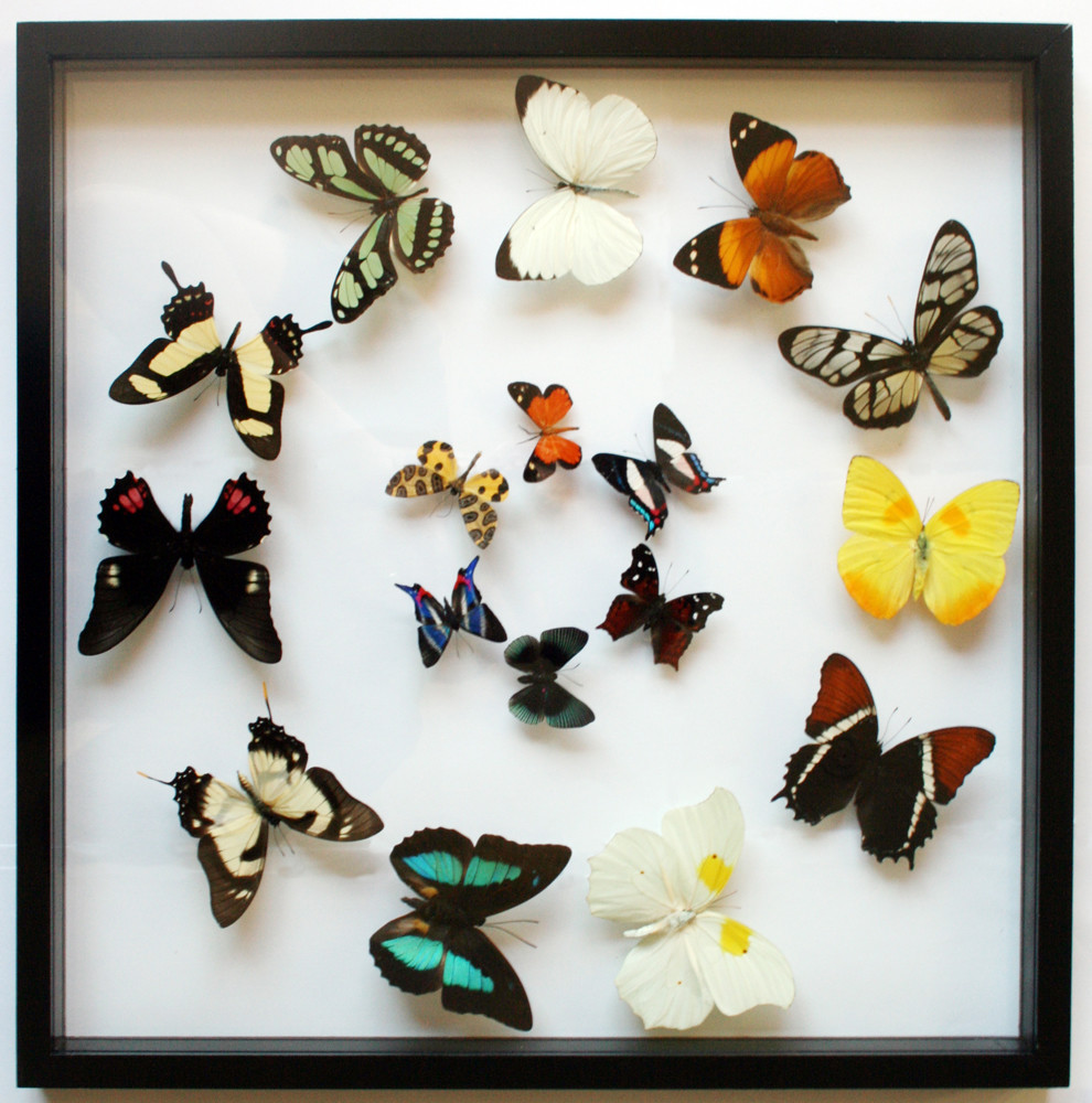 real framed butterfly gift collection in black display by ben the butterfly guy
