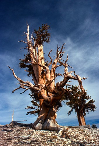 Inyo Bristlecone Pine Tree | by USFS Region 5