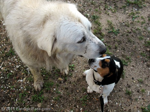 Daisy and Bert after the storm | by Farmgirl Susan