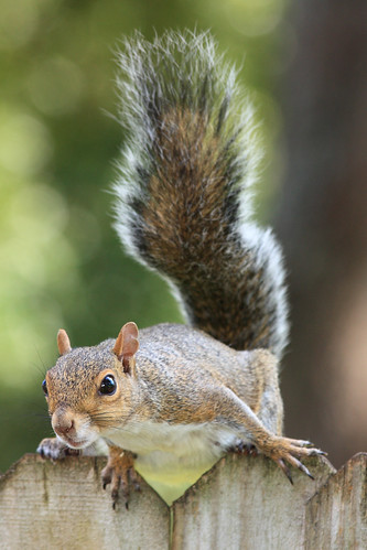 Gray Squirrel | by canikon1998