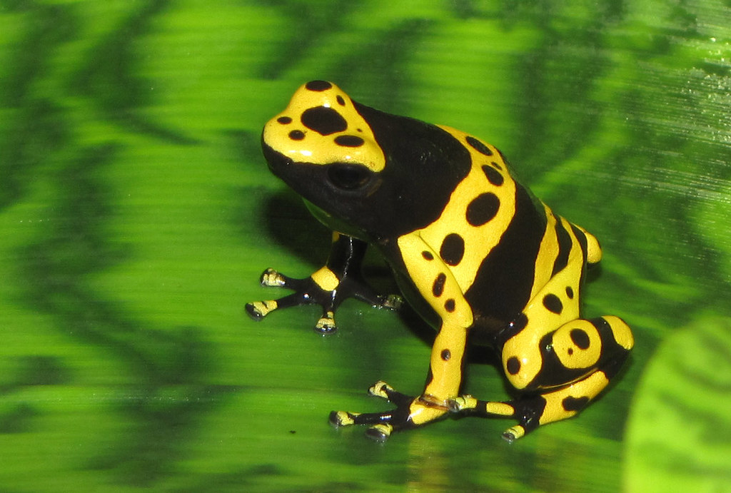Yellow poison dart frogs