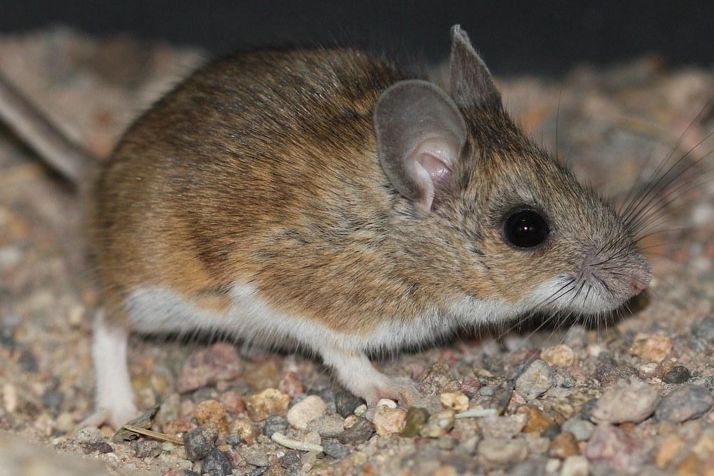 Peromyscus