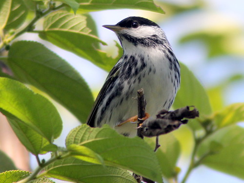 Blackpoll Warbler male 20110414 | by Kenneth Cole Schneider