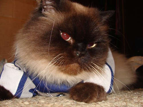 koko - himalayan cat - canucks fan pet | by koko Canucks