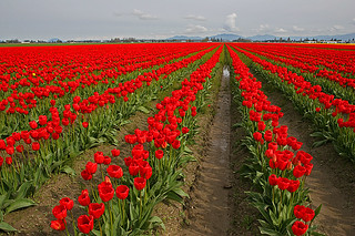Rows of Red Tulips | by janruss