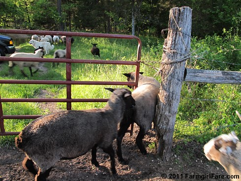 Off To Greener Pastures! | by Farmgirl Susan