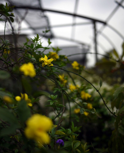 雲南黃馨,又名迎春花,黃梅。