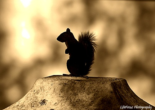 squirrel in sepia profile | by WITHIN the FRAME Photography(5 Million views tha
