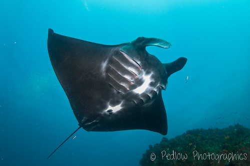 Manta | by Pedlow Photographics