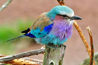 lilac-breasted roller | by Lamby1959
