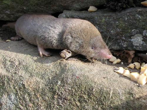 Blarine -- Short-tailed Shrew | by Gilles Gonthier