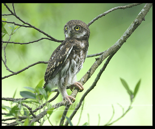 Little Asian Barred Owlet  19 | by tsankung2009