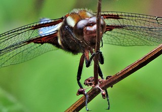 Broad-bodied Chaser | by adrianmeredith401