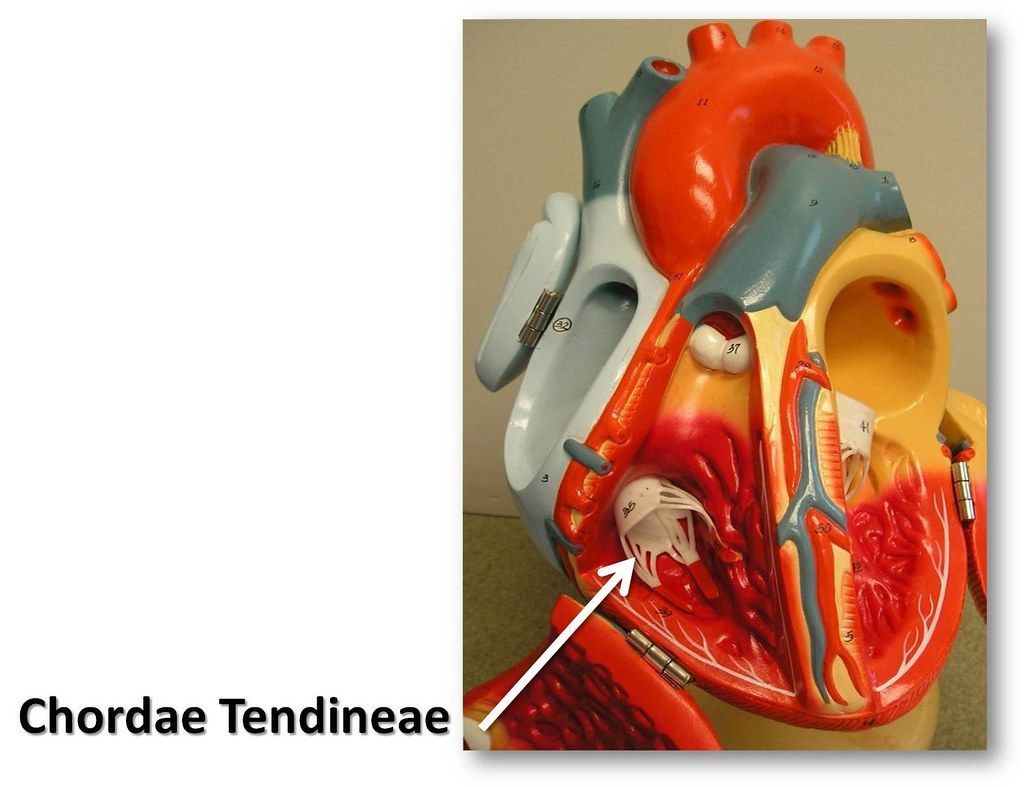 Chordae Tendineae The Anatomy Of The Heart Visual Atlas Flickr