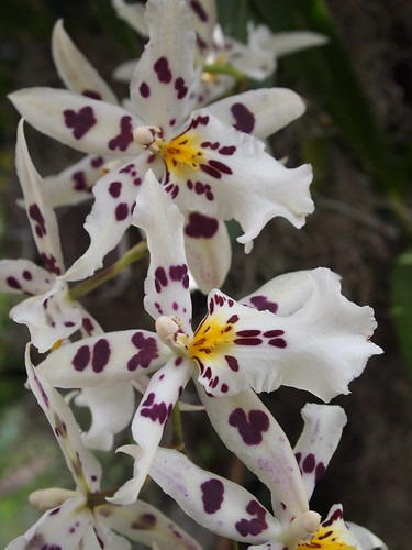 Probably Beallara | by orchidgalore